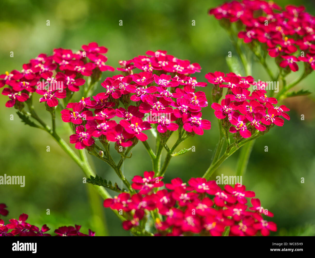 Red Achillea Millefolium High Resolution Stock Photography And