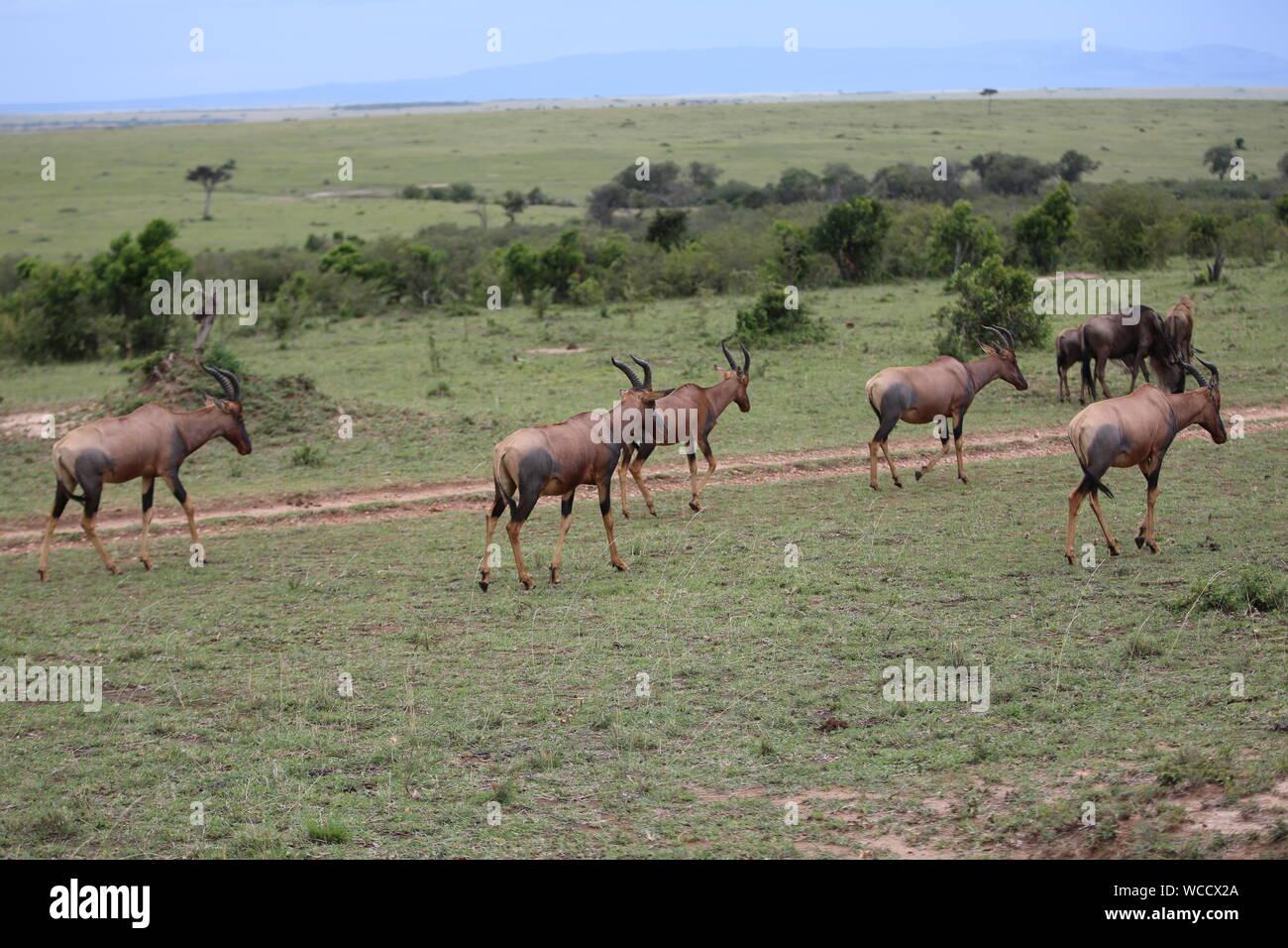 Wildebeests Walking On Grassy Field At Masai Mara Stock Photo
