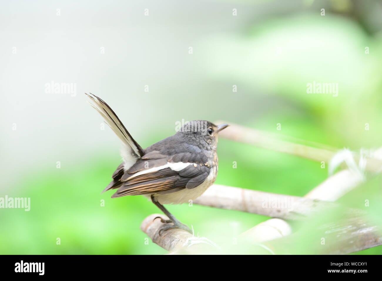 Oriental Magpie Robin Juvenile /Copsychus saularis Stock Photo