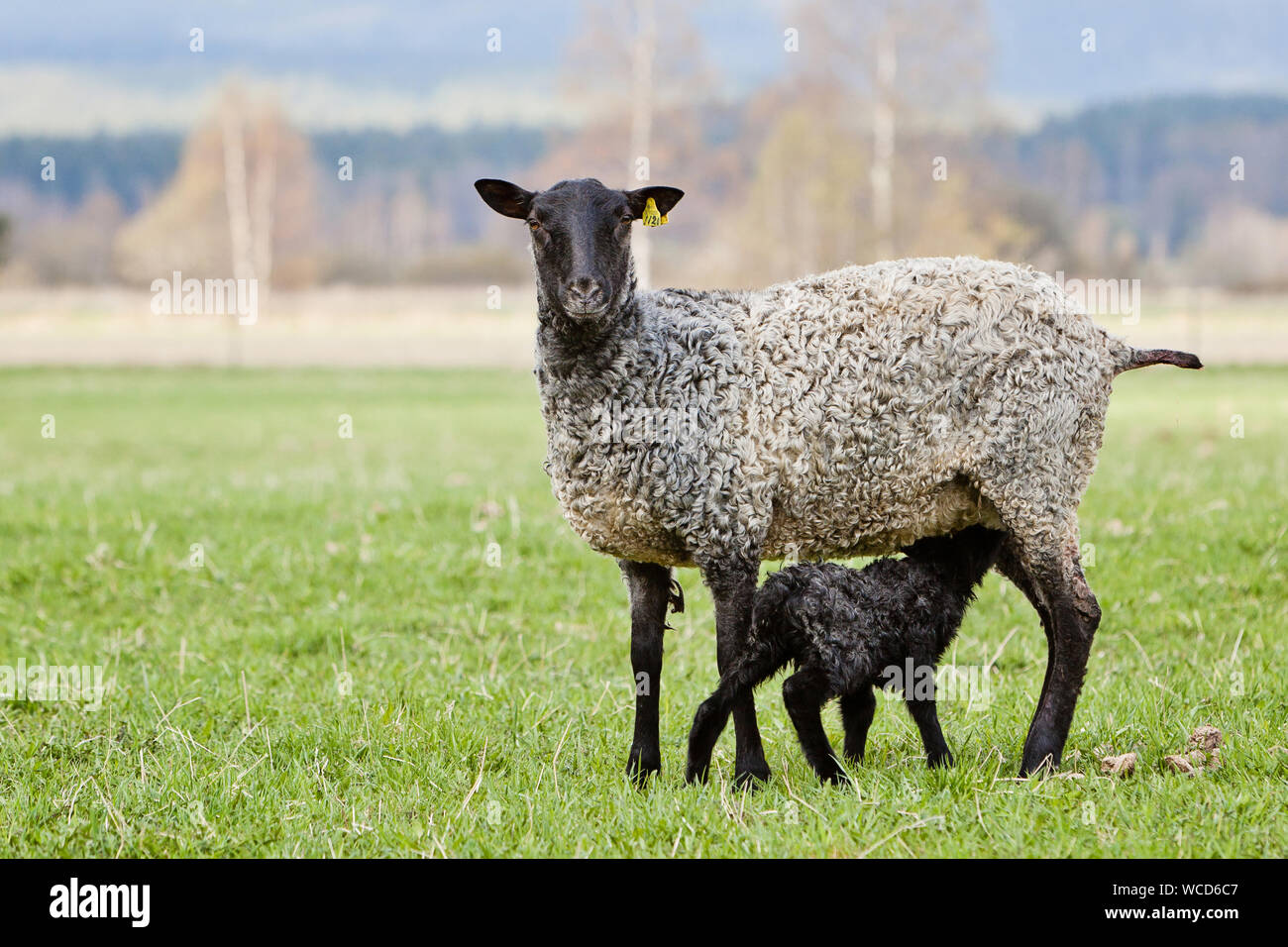 Portrait Of Sheep With Lamb Standing On Grassy Field Stock Photo