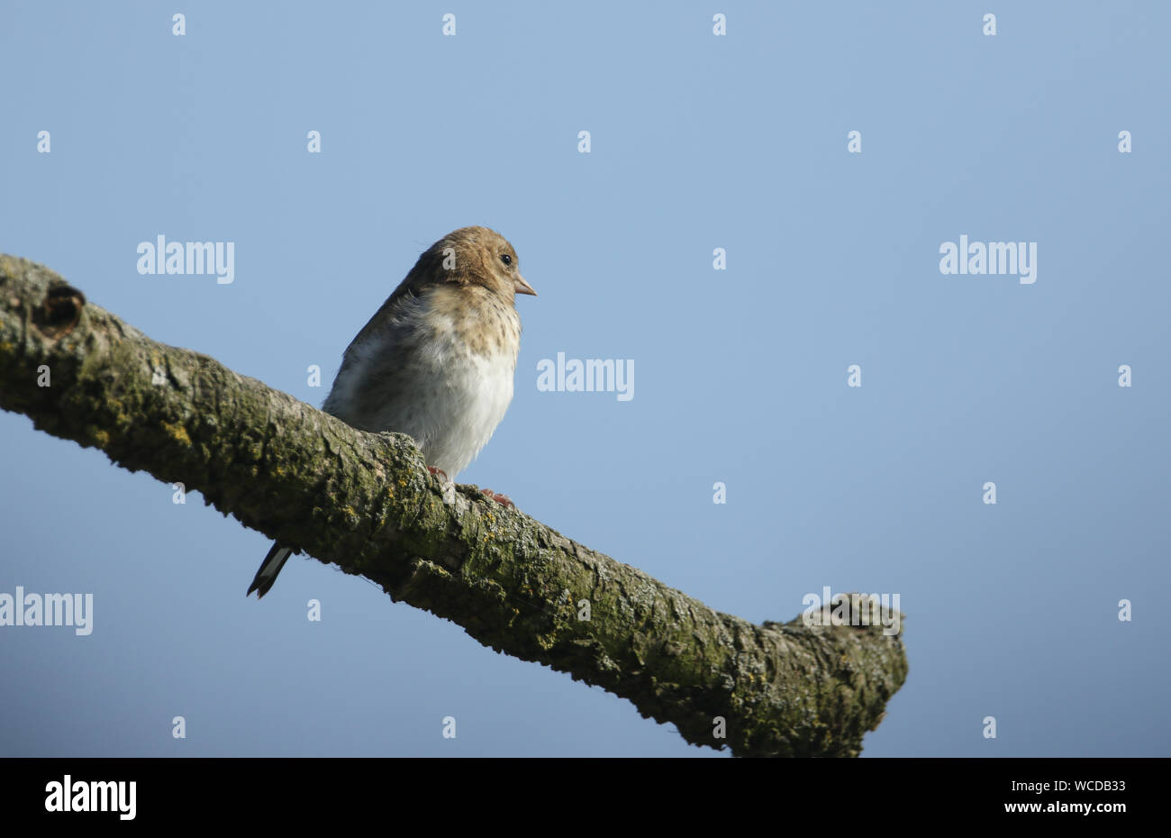 A beautiful juvenile Goldfinch, Carduelis carduelis, perched on a tree. Stock Photo