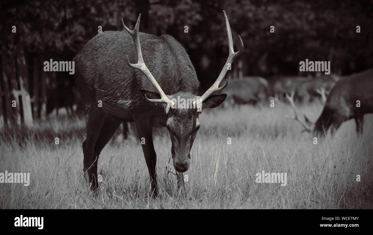 Deer in England Stock Photo