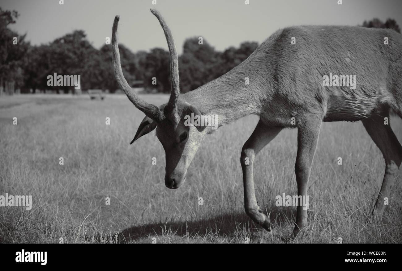 Deer in England Stock Photo