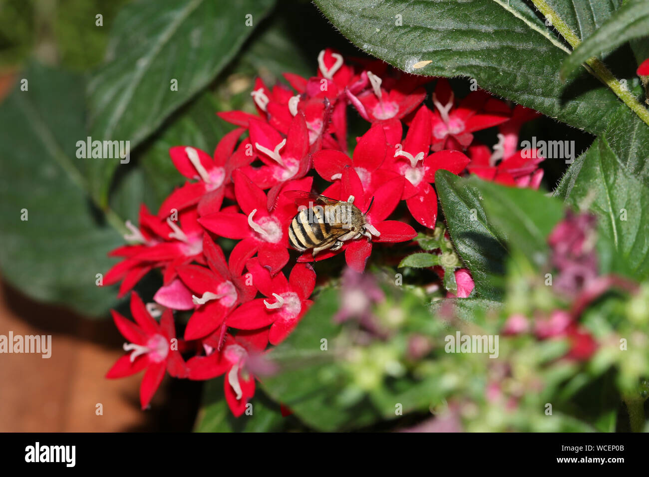 furry black and yellow bee a type of digger bee Latin family amegilla feeding on a red pentas lanceolata also called an Egyptian starcluster flower Stock Photo