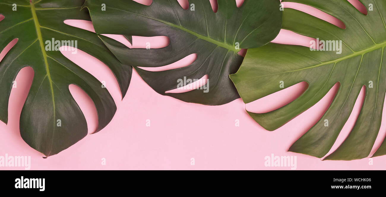 Tropic Banner With Green Natural Monstera Lant Leaves On Pink Background Stock Photo Alamy