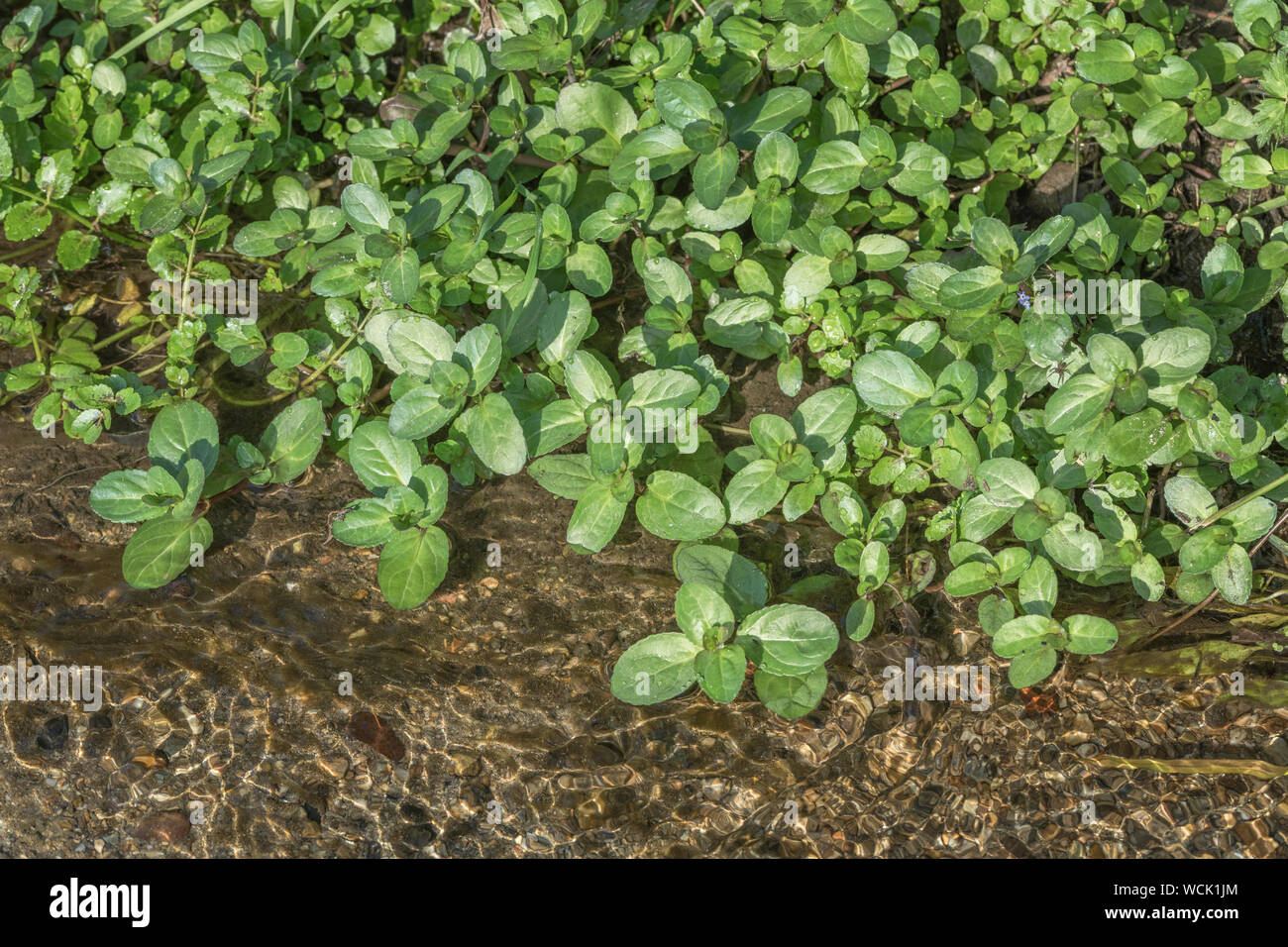 Brooklime / Veronica beccabunga foliage growing in a freshwater stream. Foraged and survival food containing Vitamin C. Once used in herbal remedies. Stock Photo