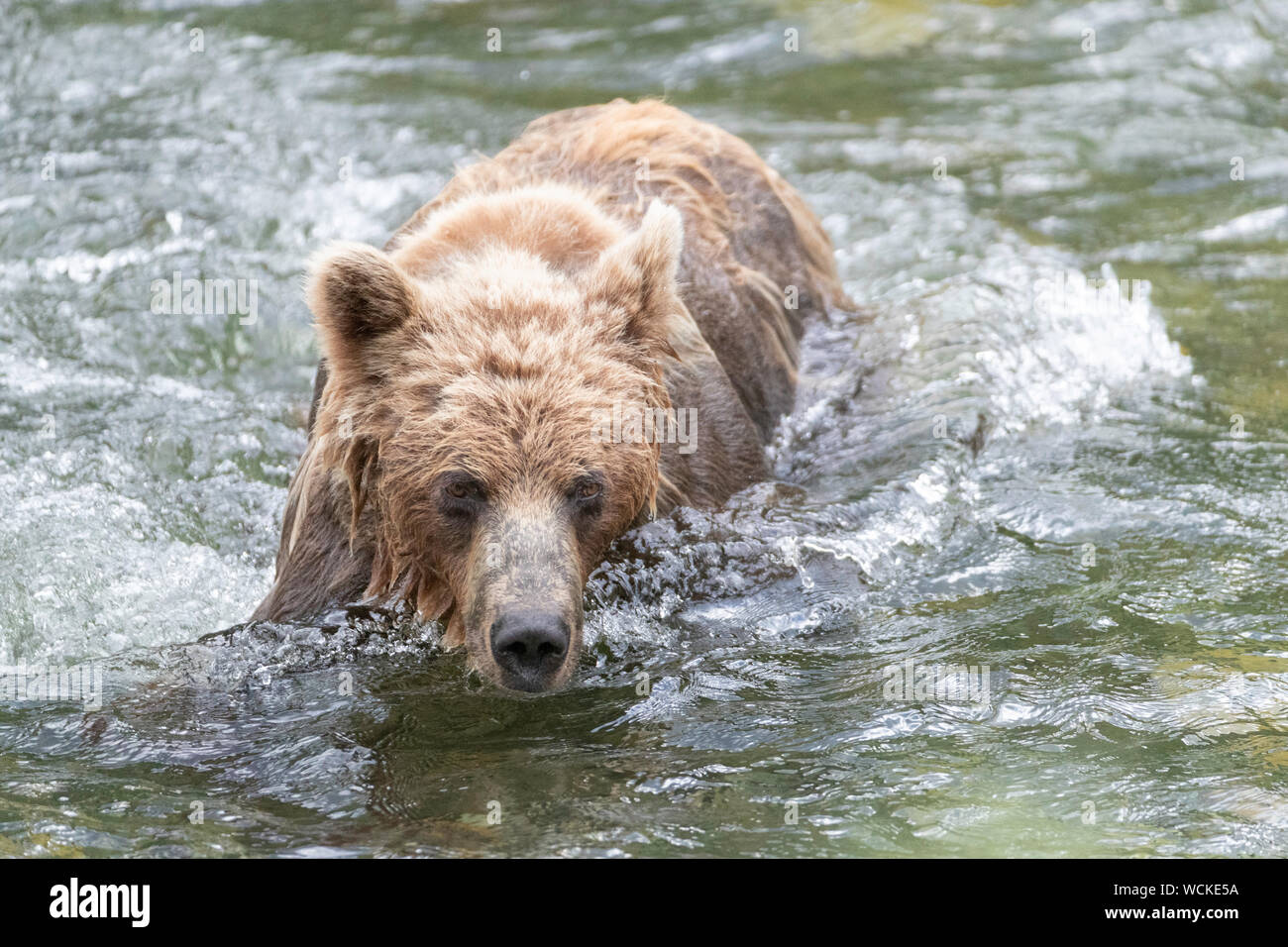 Grizzly Bear in the Nakina River hunting for Salmon, Ursus arctos horribilis, Brown Bear, North American, Canada, Stock Photo