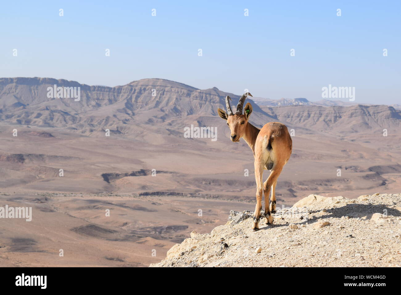 Rear View Portrait Of Reh On Landscape Stock Photo