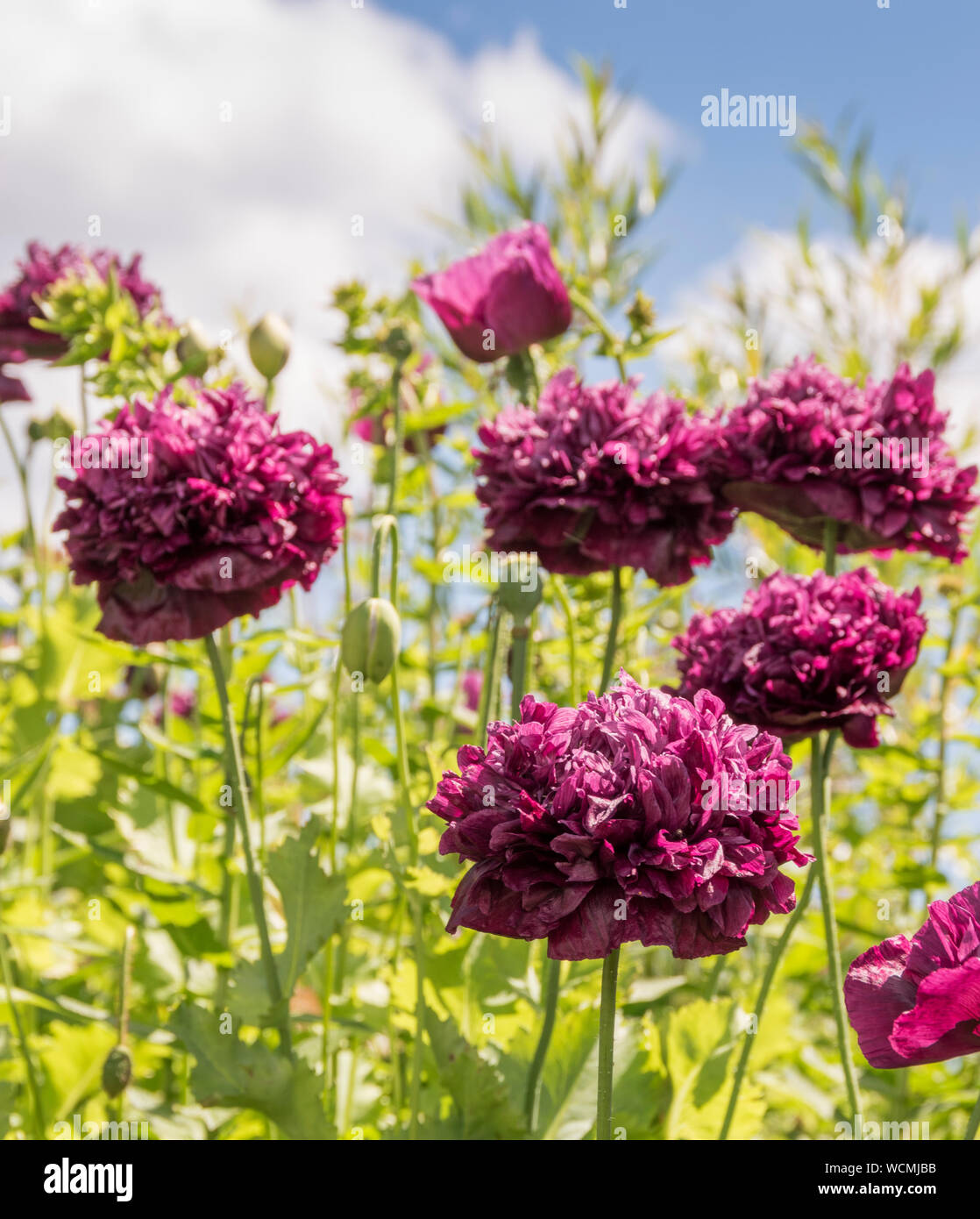 Summer Blooming Flowers Stock Photo 265984863 Alamy