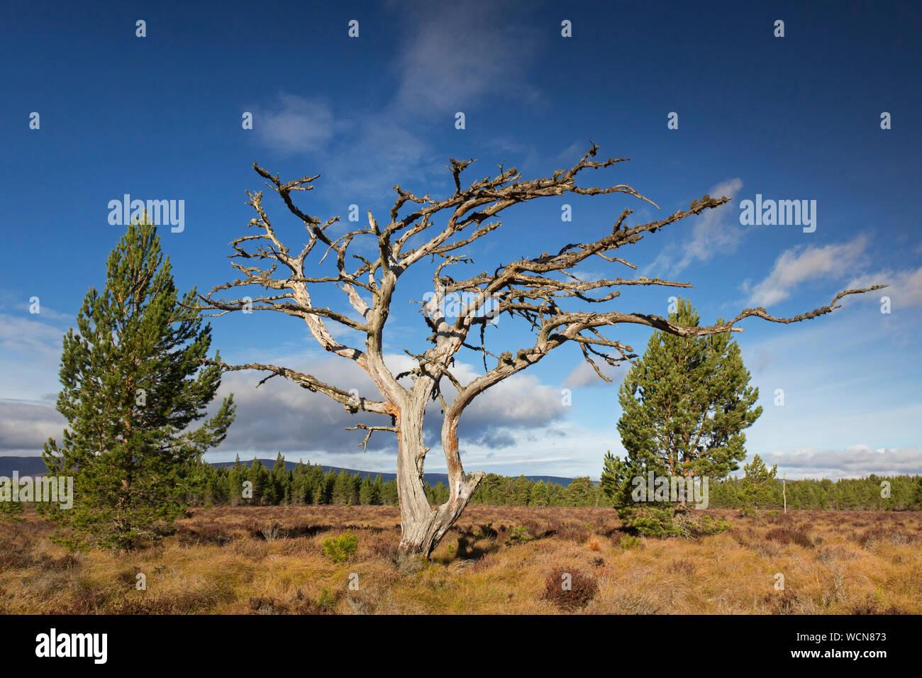 Dead Scots pine tree (Pinus sylvestris) in moorland / heath, Cairngorms National Park, Badenoch and Strathspey, Scotland, UK Stock Photo