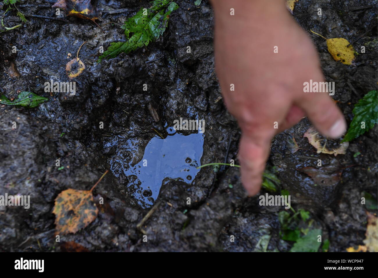 ALTAI TERRITORY, RUSSIA - AUGUST 28, 2019: A forest ranger points to an elk footprint in a protected area of taiga managed by KBU Altaipriroda in Togul District of Russia's Altai Territory, which is to become part of a protected area under the working name of Togul National Park; according to the Russian government's project Ekologia (Ecology), the proposed national park is to be established by 2024 and to include parts of Zarinsk District, Togul District, and Yeltsovka District of the Altai Territory, with a total area of over 160 hectares. Kirill Kukhmar/TASS Stock Photo