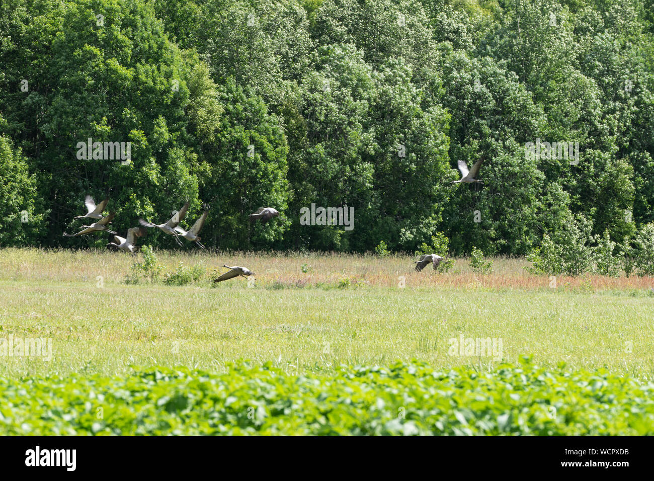 Grus grus. Common crane rest on the edge of the forest. Birds on the meadow. Eurasian crane  rising flight, natural environment background. Stock Photo