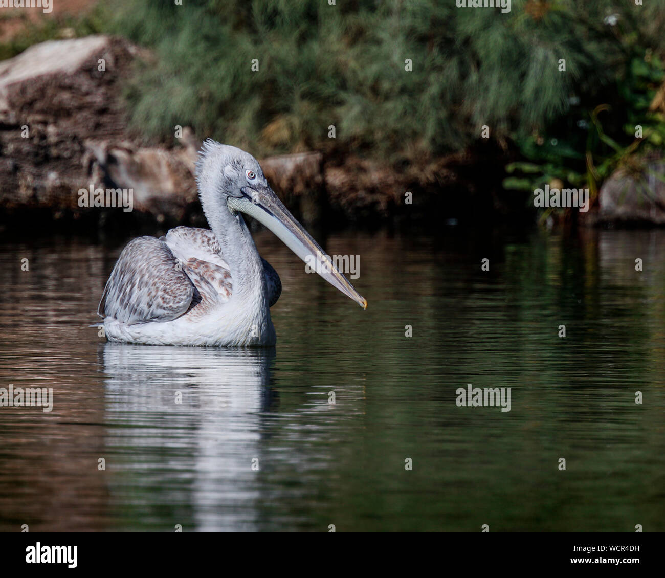 Pink Backed Pelicans Stock Photo