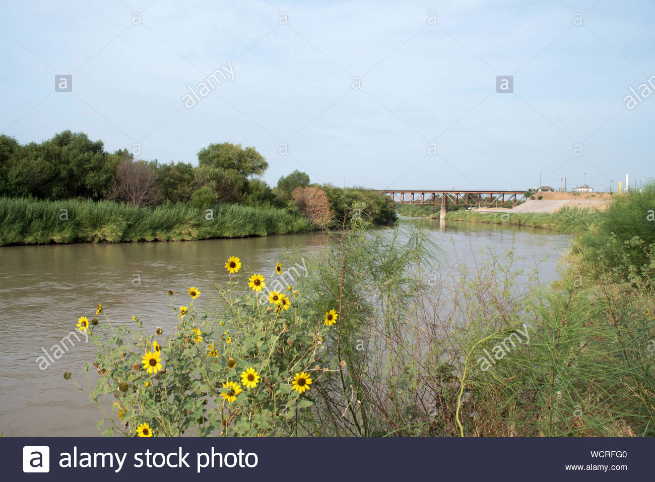 Sunflowers along the Rio Grande River in Laredo Texas. US Mexico Border. Rio Grande River on United States Mexico Border. Texas and Tamaulipas. Flower Stock Photo