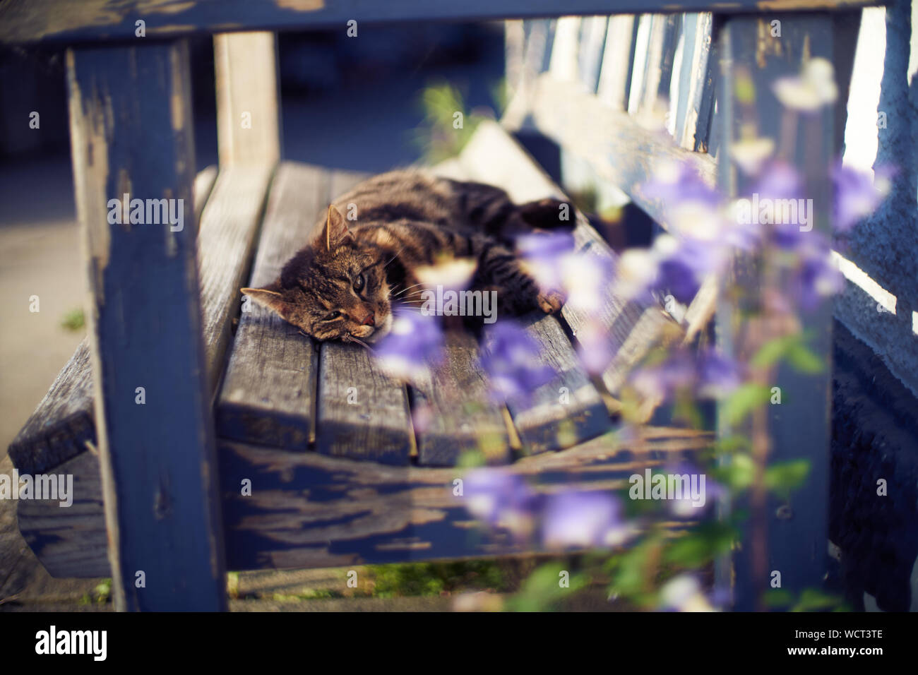 A gray cat is chilling on a wooden bench outdoors Stock Photo