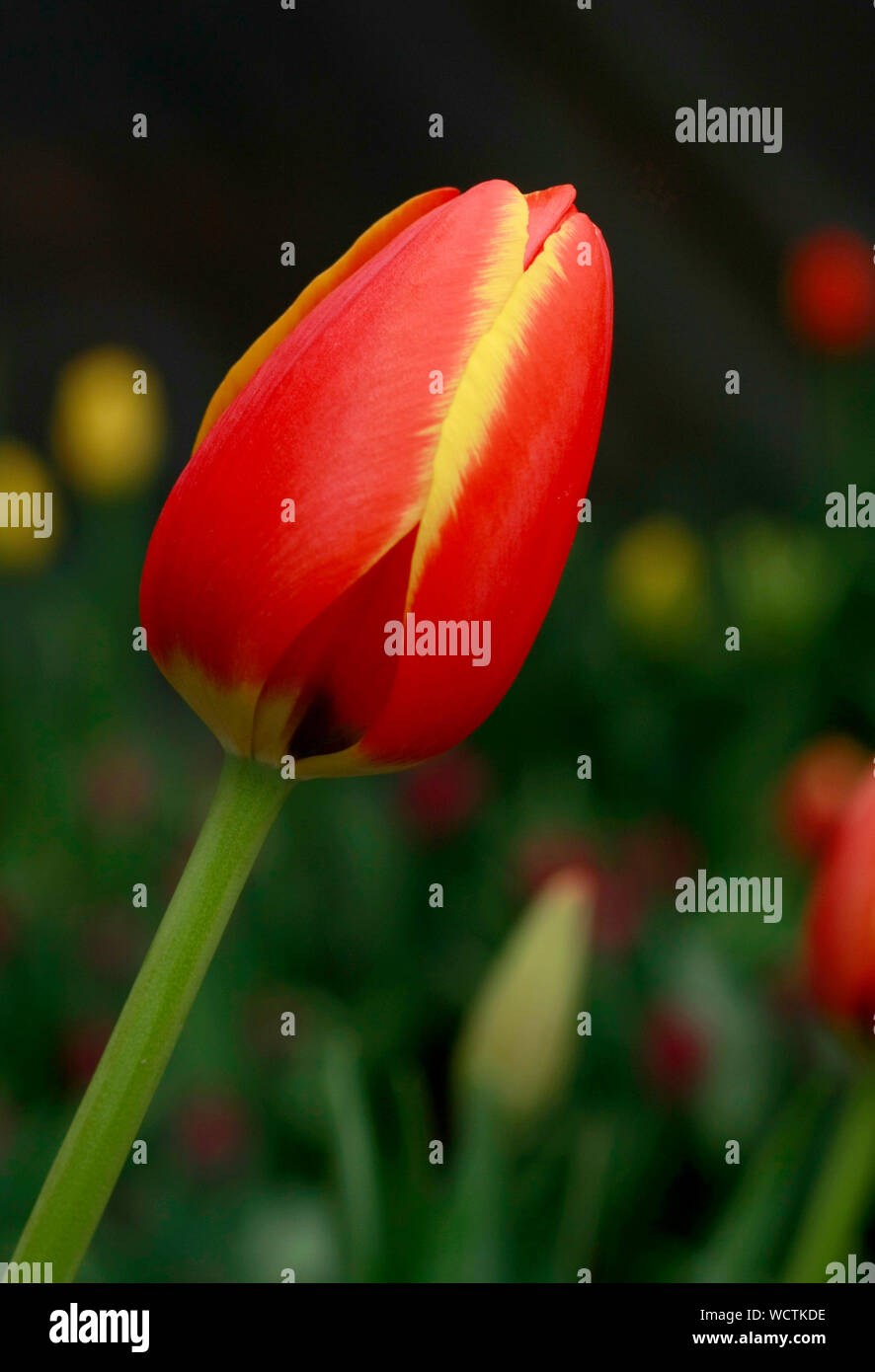 Close Up Of Red Tulip Flower Growing On Plant Stock Photo