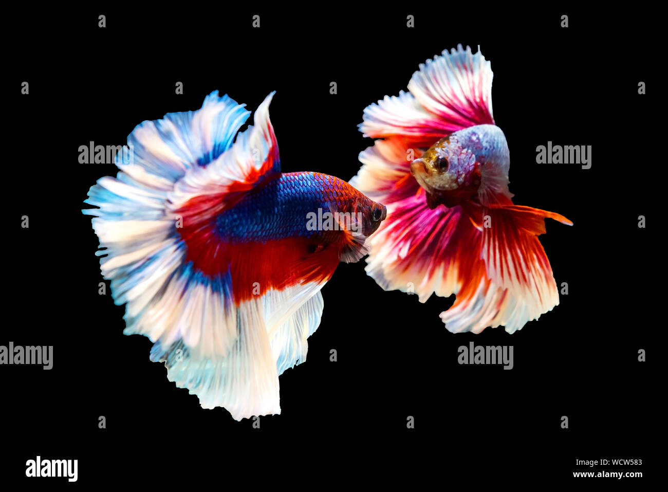 red and blue Thai betta fighting fish with full body top form, Half moon, to fight isolated on black background Stock Photo