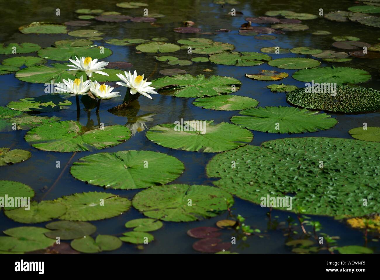 Large white water lilies surrounded by large lily pads Stock Photo