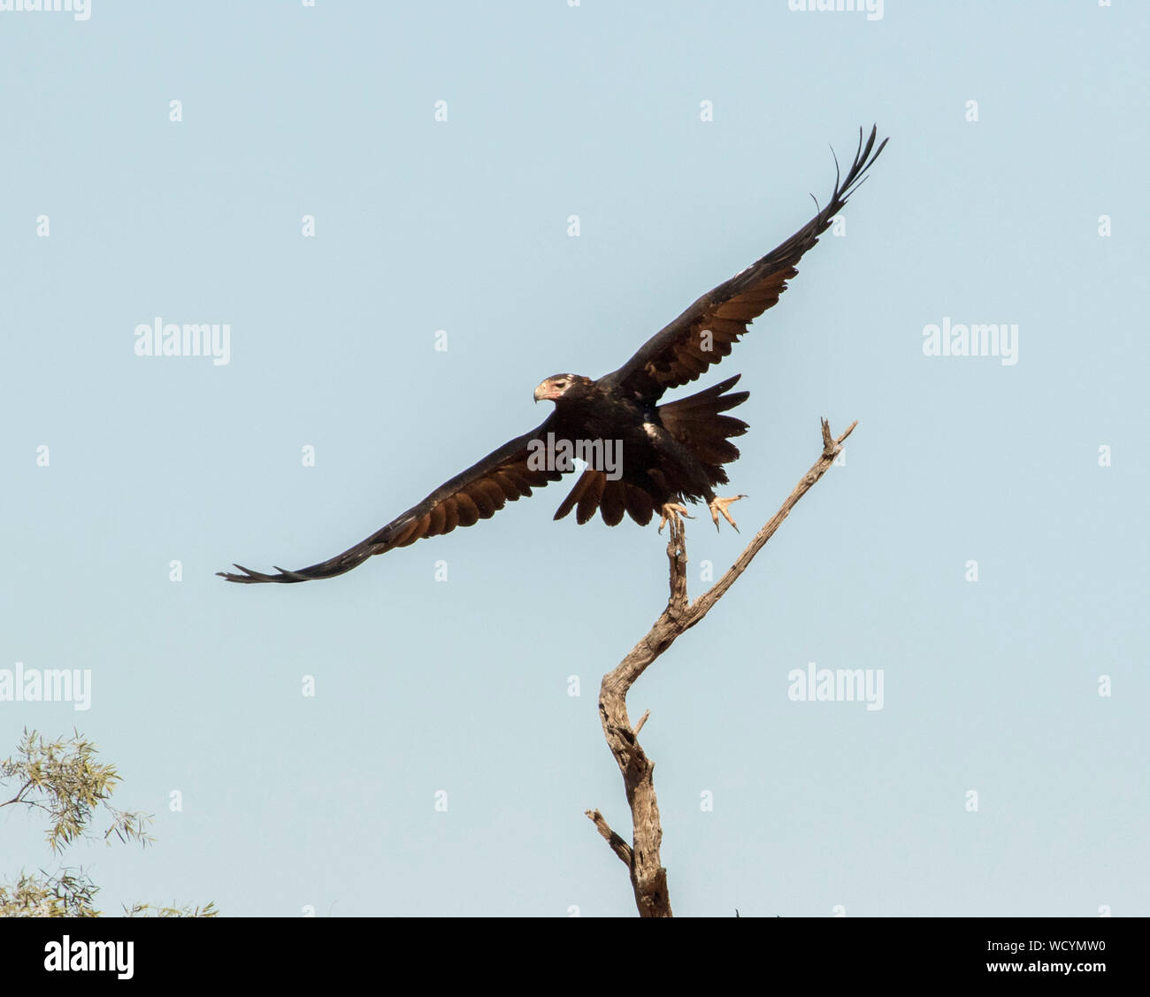 Australian Wedge-tailed eagle, Aquila audax, a bird of prey, in fight against light blue sky in outback Queensland Stock Photo