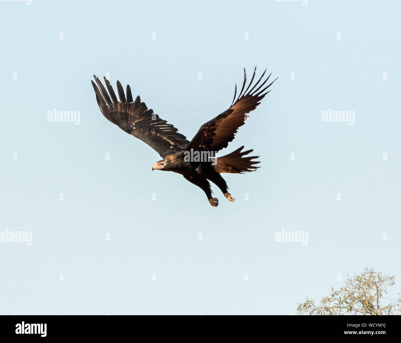 Australian Wedge Tailed Eagle Aquila Audax A Bird Of Prey In Fight Against Light Blue Sky In Outback Queensland Stock Photo Alamy