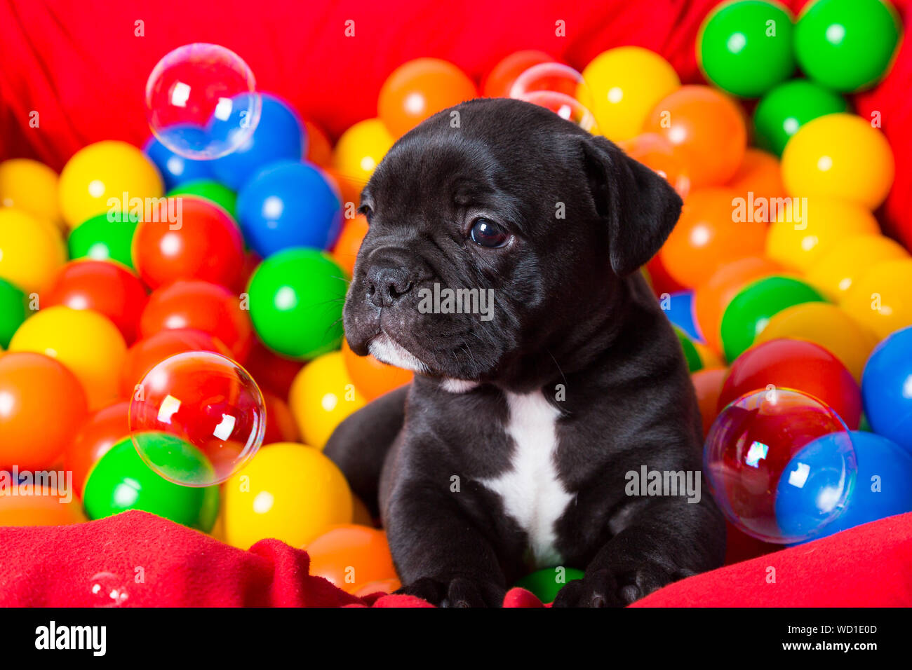 Portrait Of English Bulldog Puppy In Ballpit Stock Photo