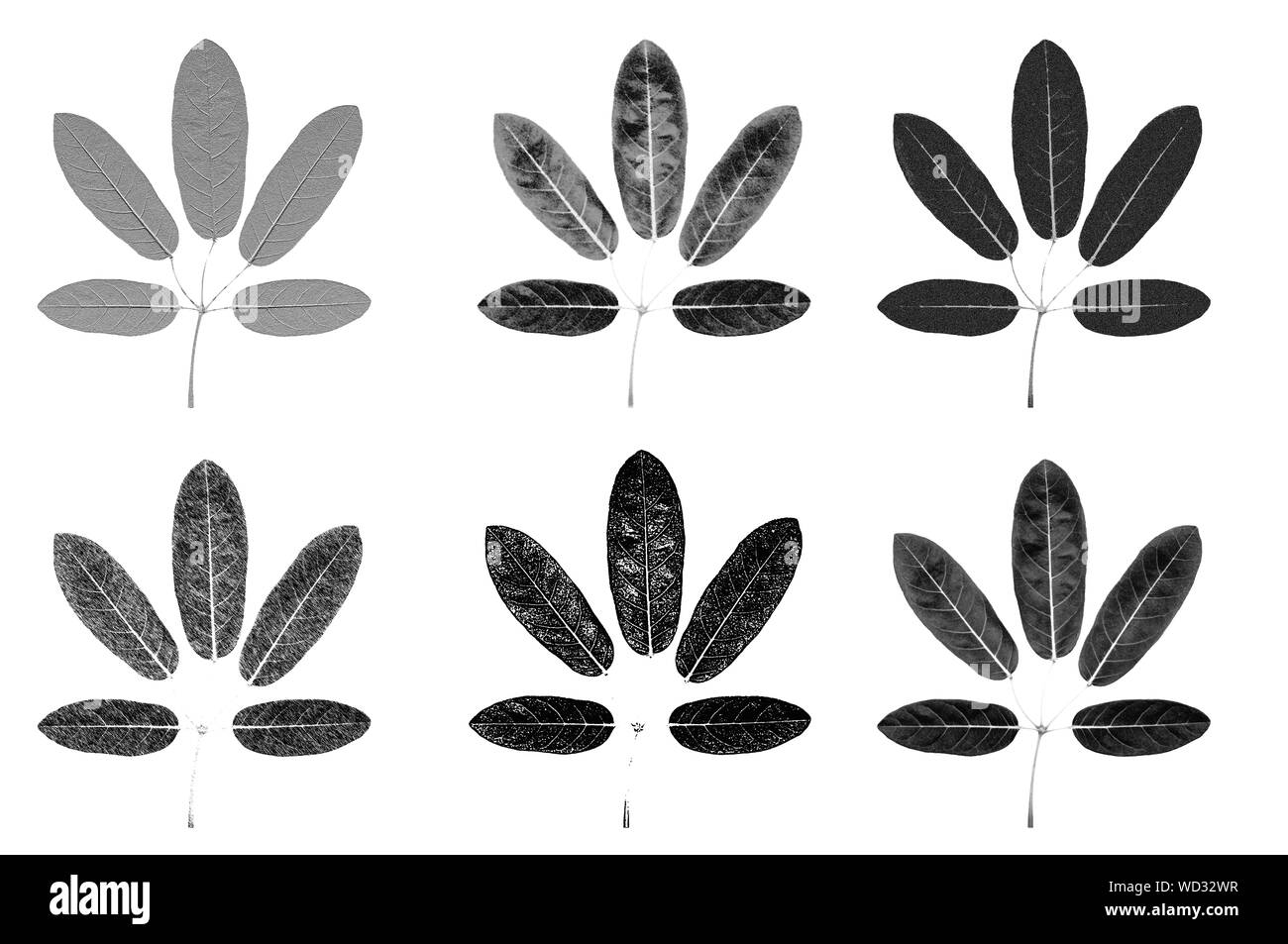 Five lobes leaves black and white skecth illustrate graphic with different texture detail isolated on white background Stock Photo