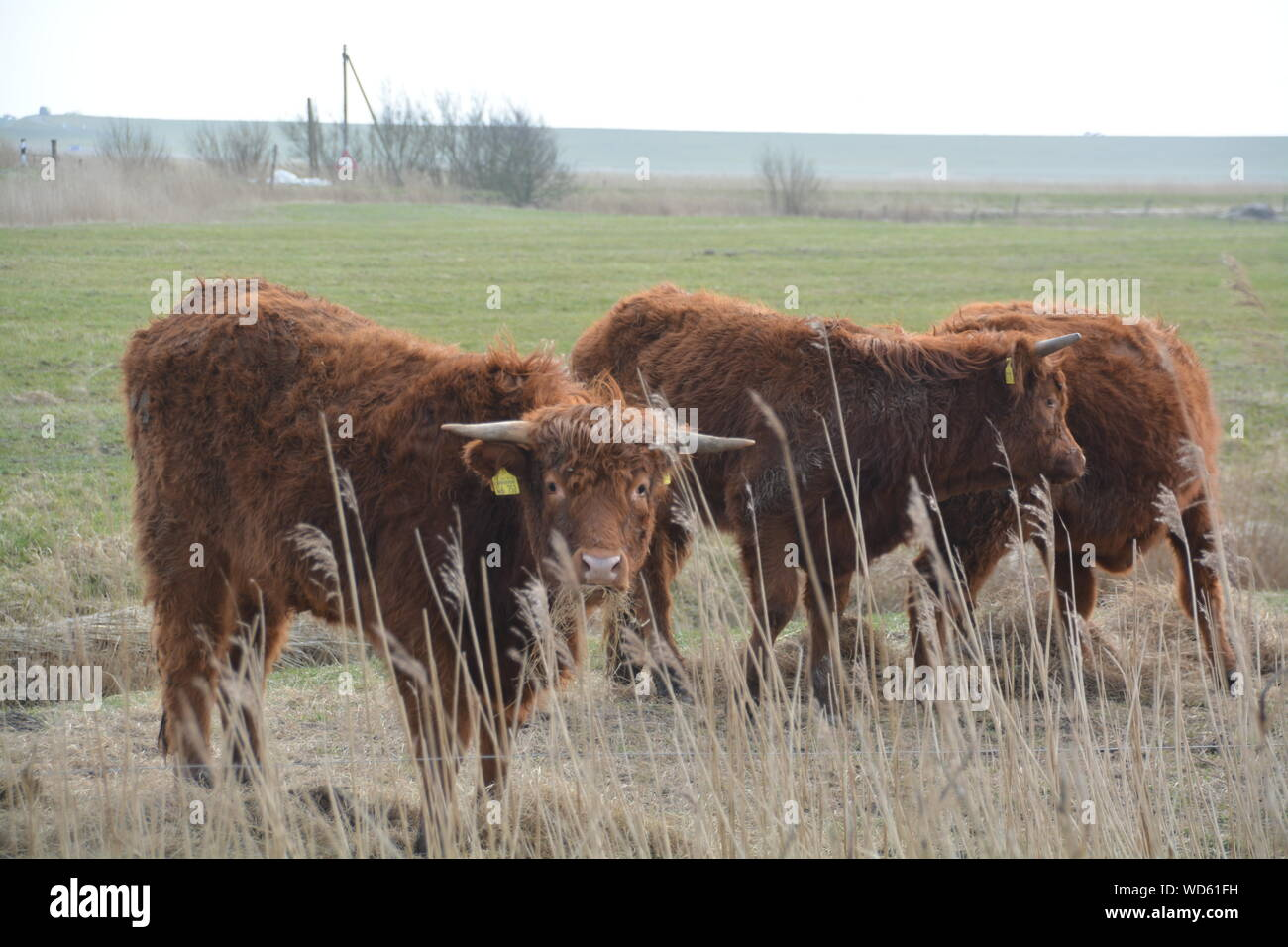 Cows Grazing On Grassy Field Stock Photo