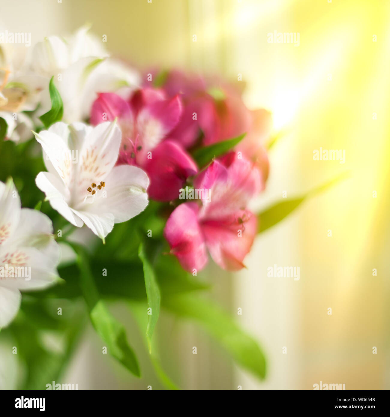 Morning Fresh Flower Lily High Resolution Stock Photography And Images Alamy