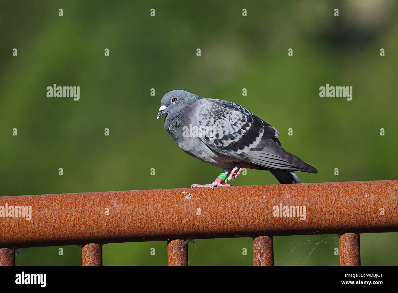 homing pigeon, racing pigeon or domestic messenger pigeon Latin columba livia domestica taking a rest from its long flight in Italy tags very visible Stock Photo