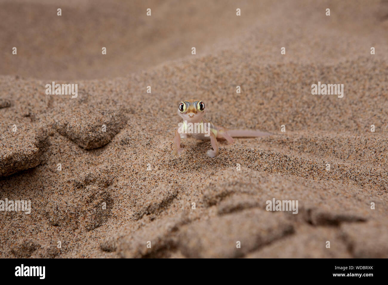 Portrait Of Namib Web-footed Gecko On Sand At Desert Stock Photo