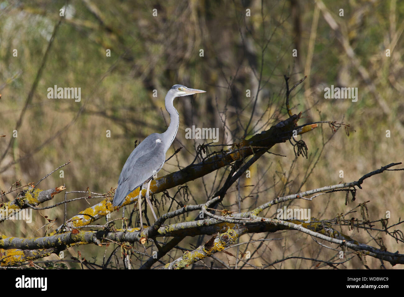 grey heron Latin ardea cinerea perched on a branch by a river in the province of Macerata, Le Marche, Italy Stock Photo
