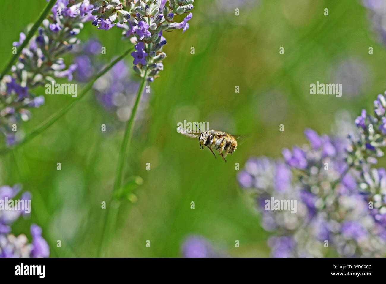 furry wool carder bee in mid flight very close up Latin anthidium manicatum near a lavender bush in Italy Stock Photo