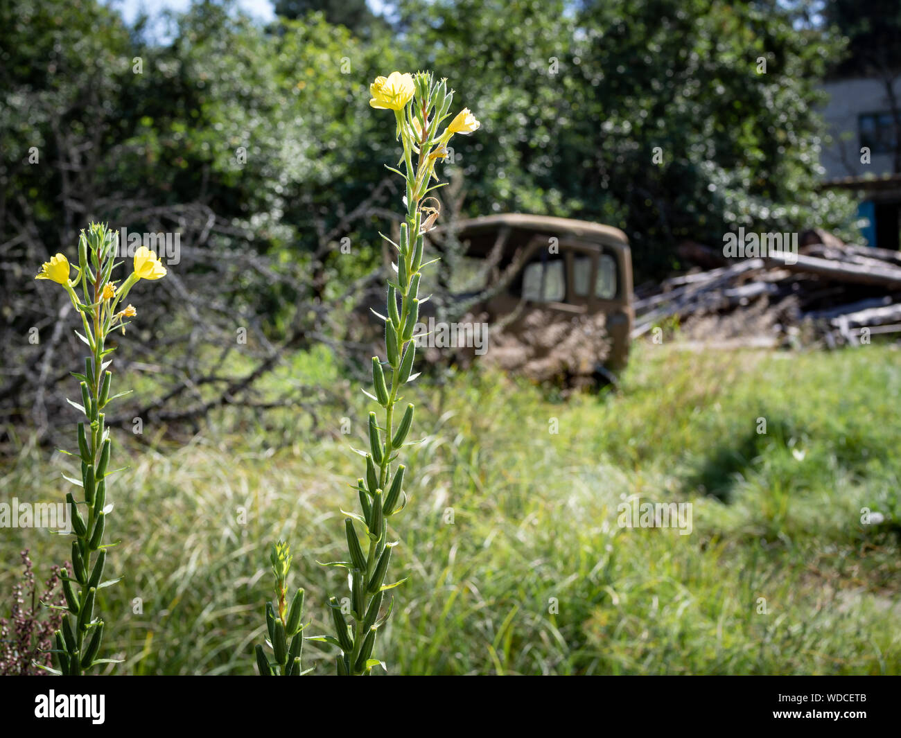 Yellow wildflowers on the background of an abandoned rusty truck Stock Photo