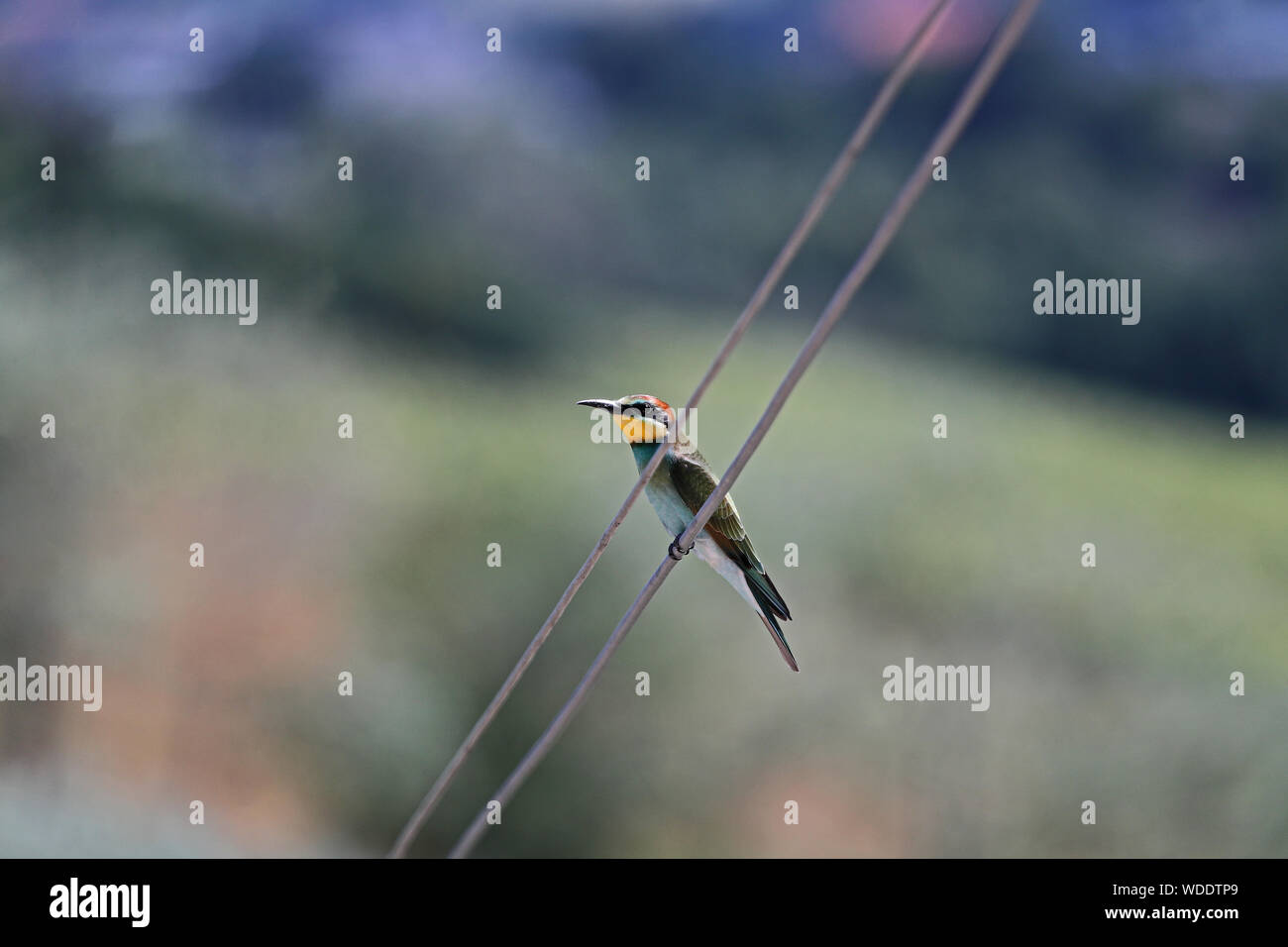 European or African bee eater or bee-eater Latin merops apiaster family meropidae gruccione perched on a telephone wire in early summer in Italy Stock Photo