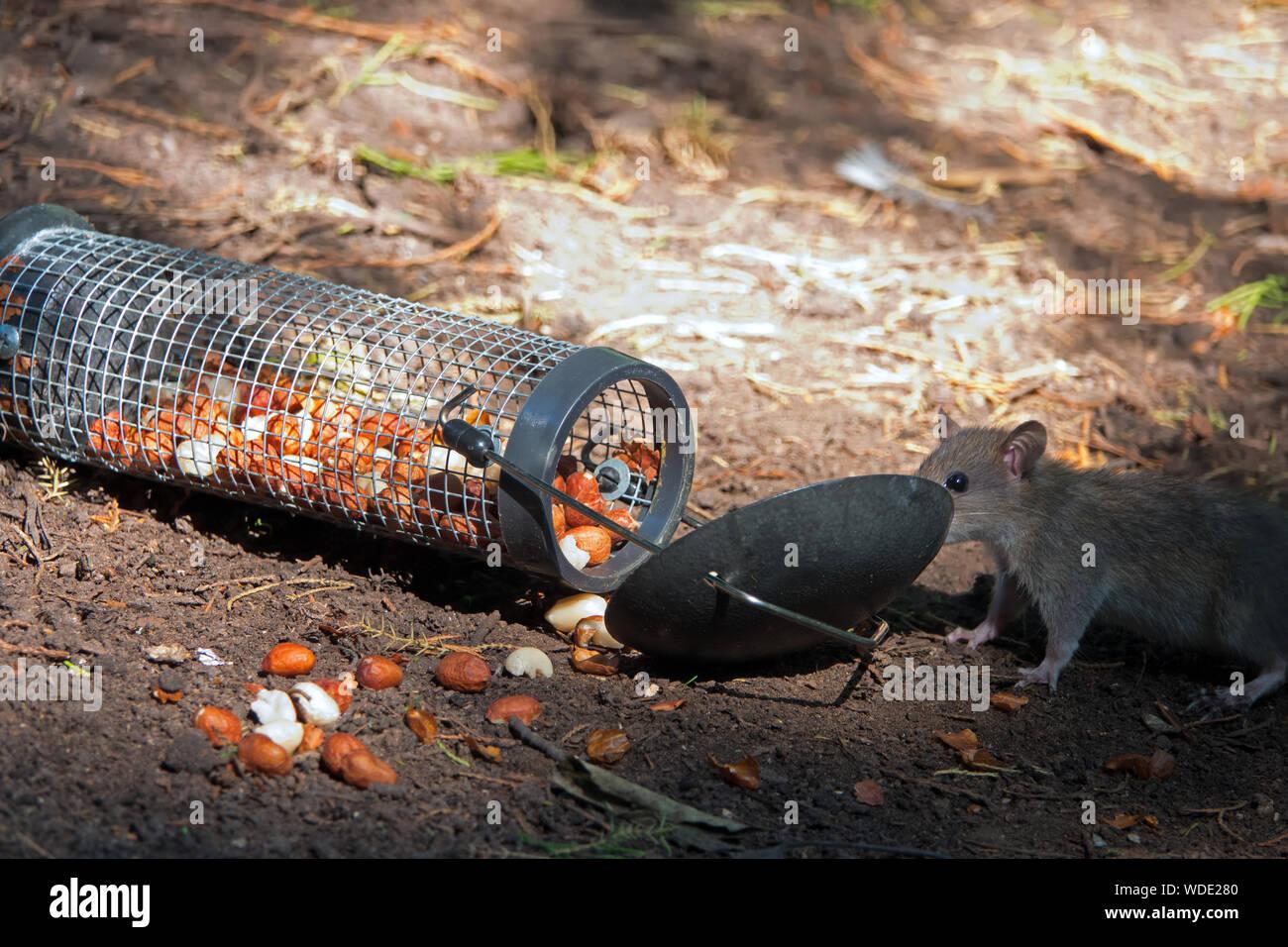 Bird Feeder Rat Stock Photos & Bird Feeder Rat Stock Images