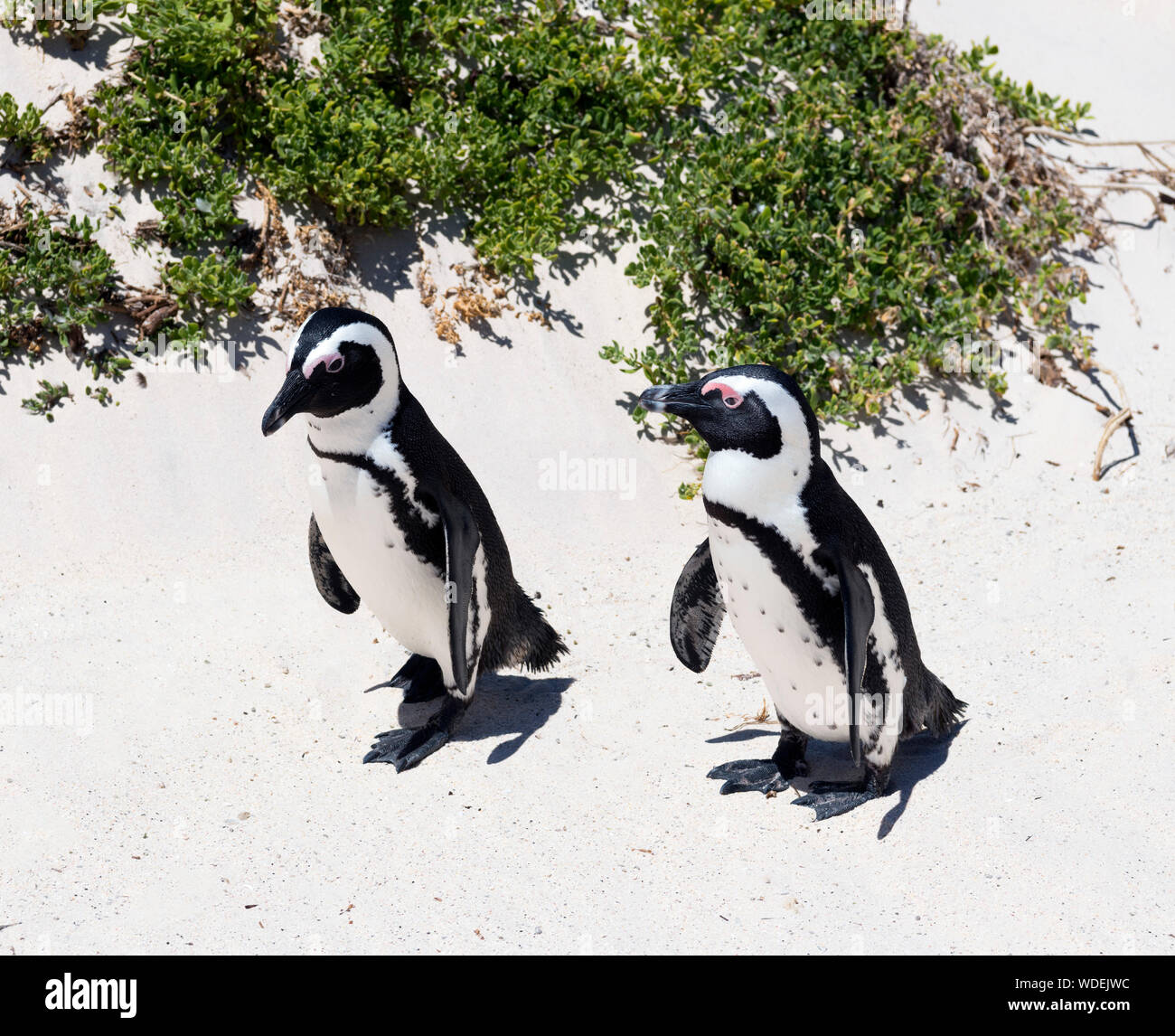 African Penguins (Spheniscus demersus) at Boulders Beach, Simon's Town, Cape Town, Western Cape, South Africa Stock Photo