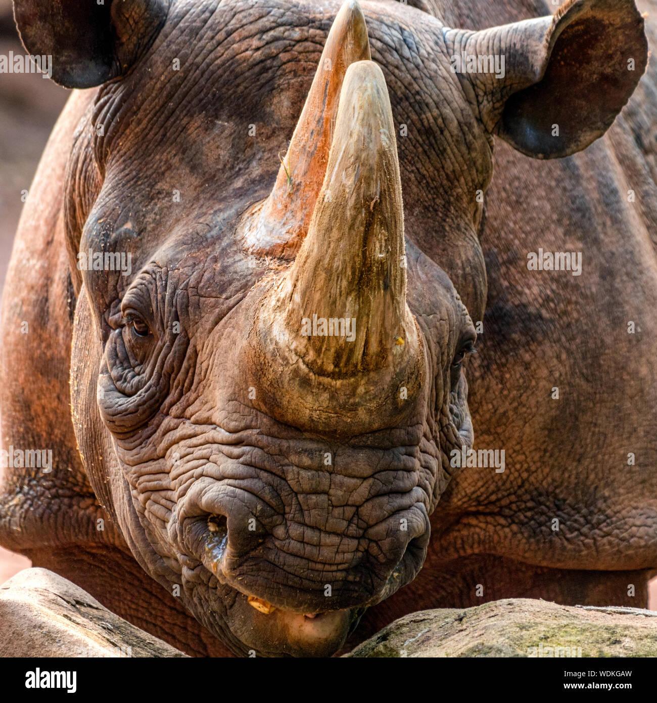 Female black rhino Stock Photo