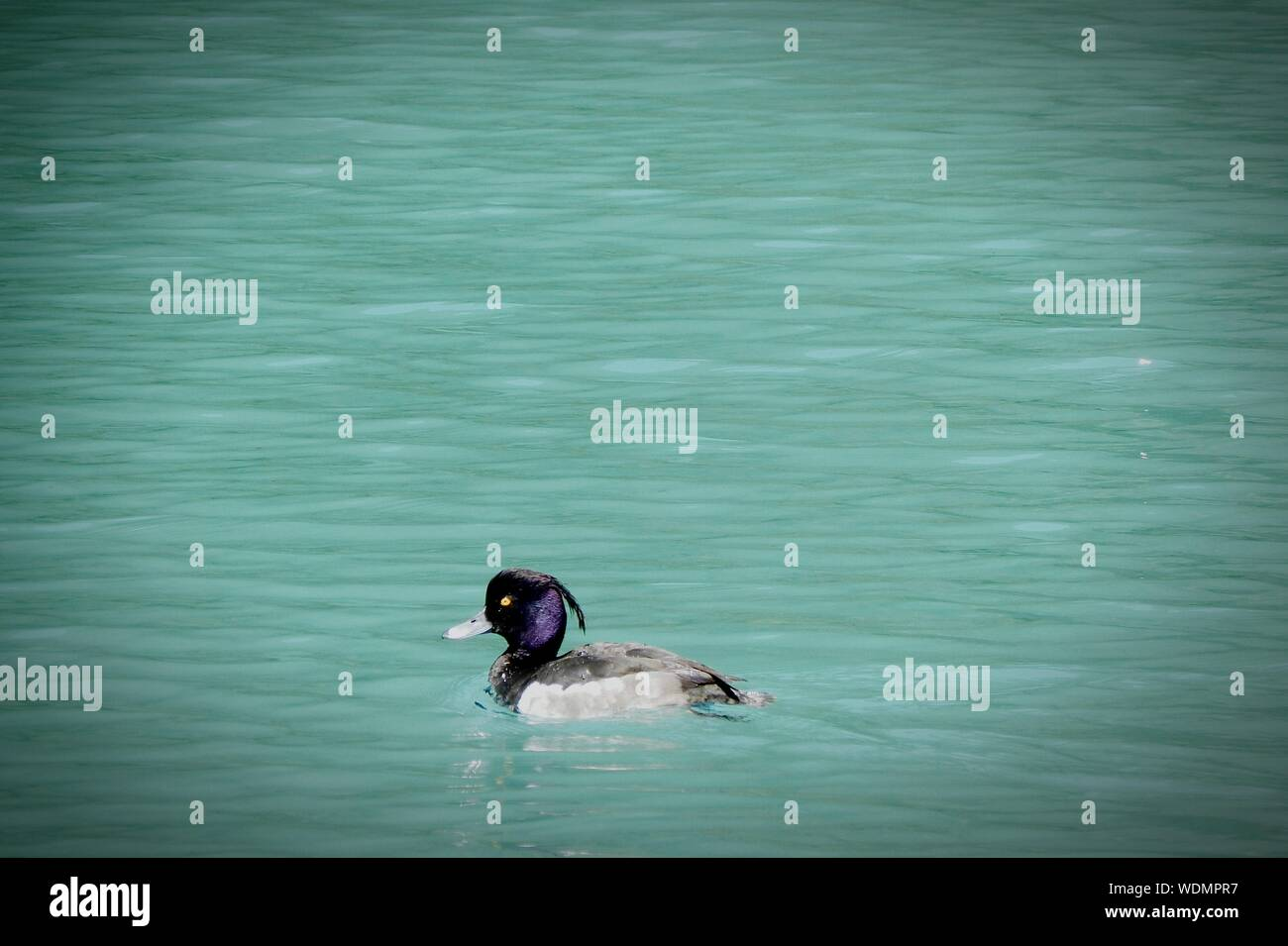 Tufted Duck Swimming In Lake Stock Photo