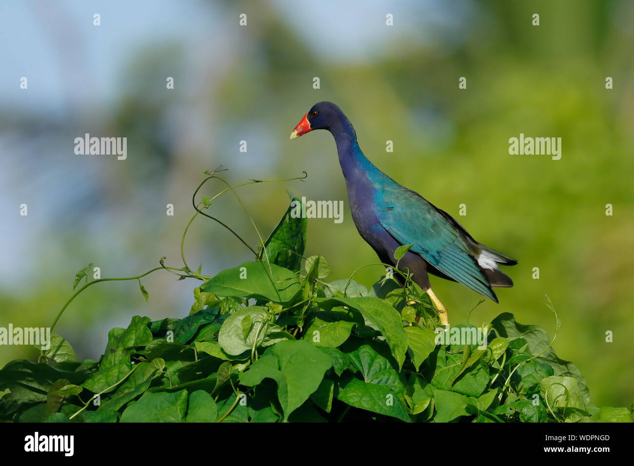 The purple gallinule is a swamphen in the genus Porphyrio. It is in the order Gruiformes, an order which also contains cranes, rails. Stock Photo