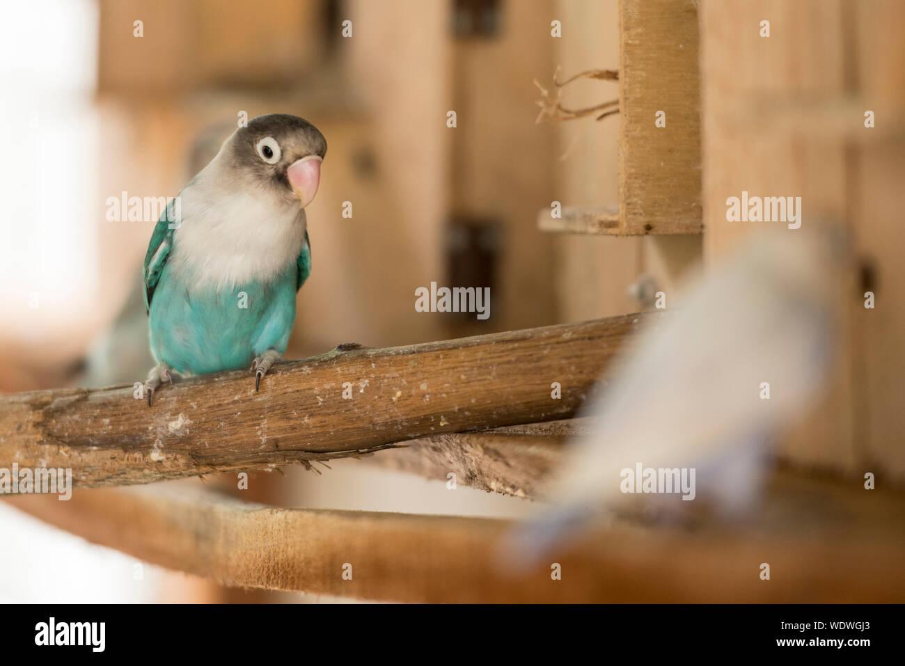 Lovebird Birds Lovebird Blue Cobalt Pets For Mating Stock Photo Alamy