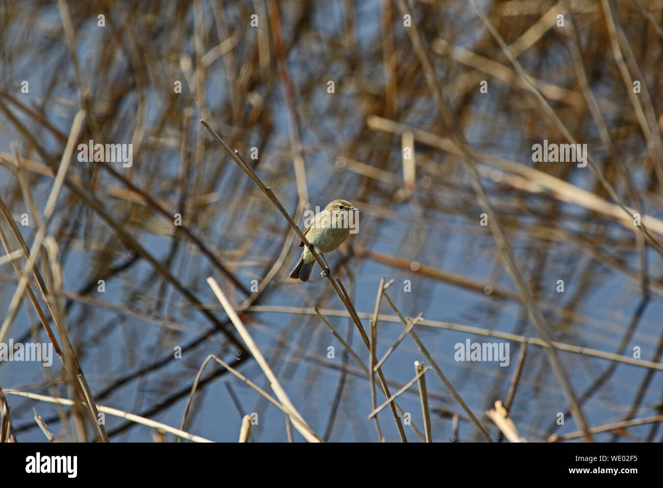 small chiffchaff Latin phylloscopus collybita a type of leaf warbler sitting on a reed in a nature reserve in Italy Stock Photo