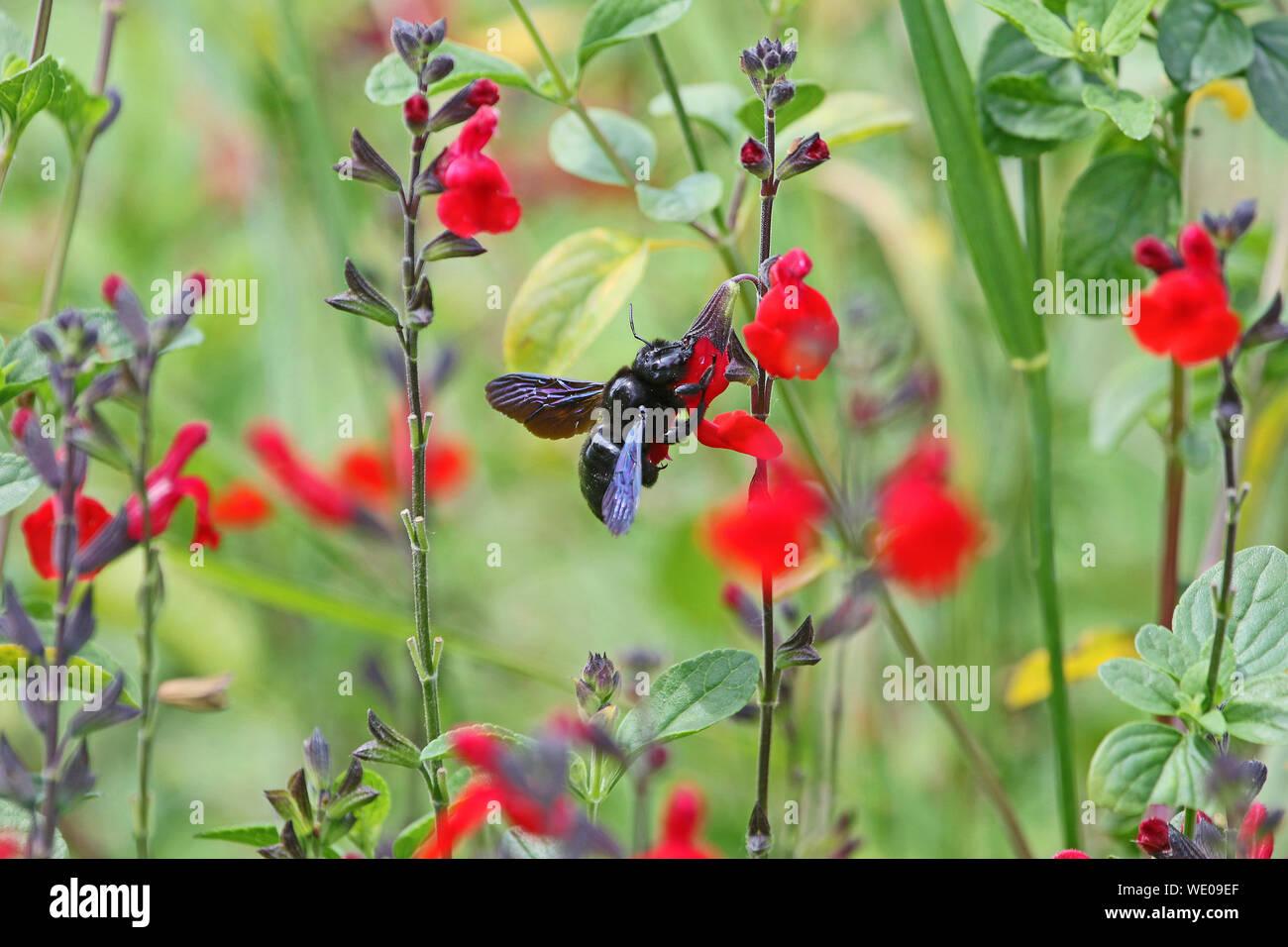 Carpenter bee Latin name xylocopa violacea feeding on scarlet flowering sage royal bumble or salvia x jamensis close up blooming in Italy in springtim Stock Photo