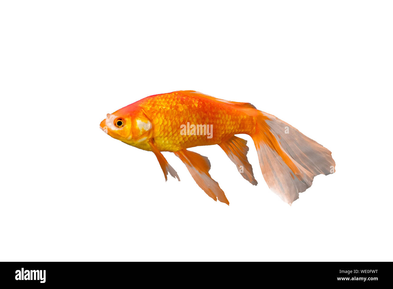Goldfish long-tail breed in china. isolated on white background Stock Photo