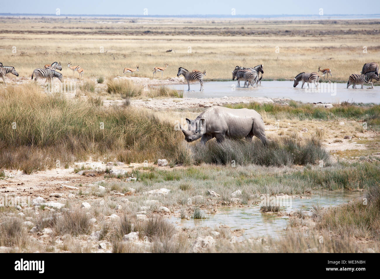 Rhinoceros with two tusks and herd of zebras and impala antelopes in Etosha National Park, Namibia drink water from the lake safari in Southern Africa Stock Photo