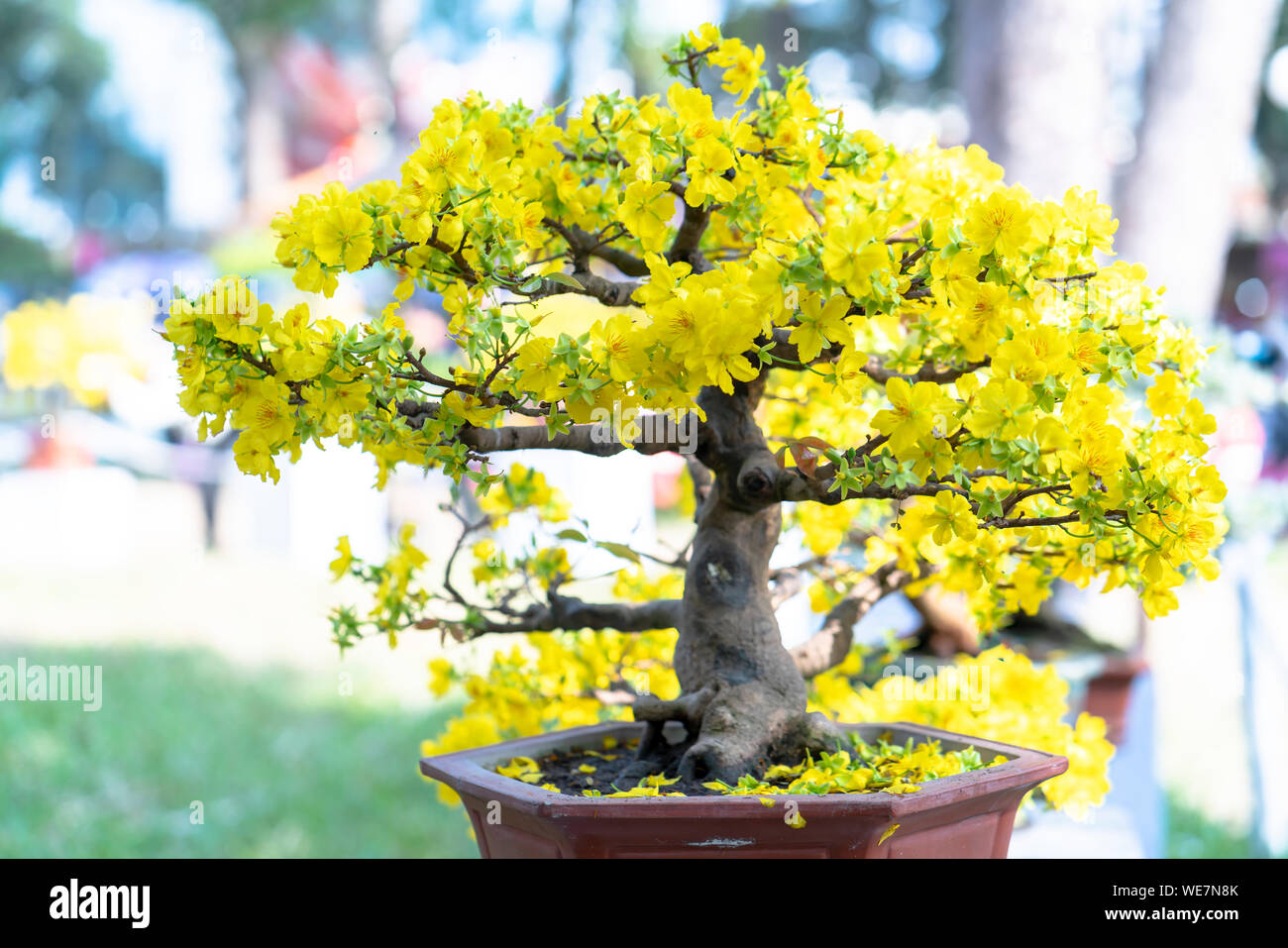 Apricot bonsai tree blooming with yellow flowering branches curving create unique beauty. This is a special wrong tree symbolizes luck, prosperity Stock Photo