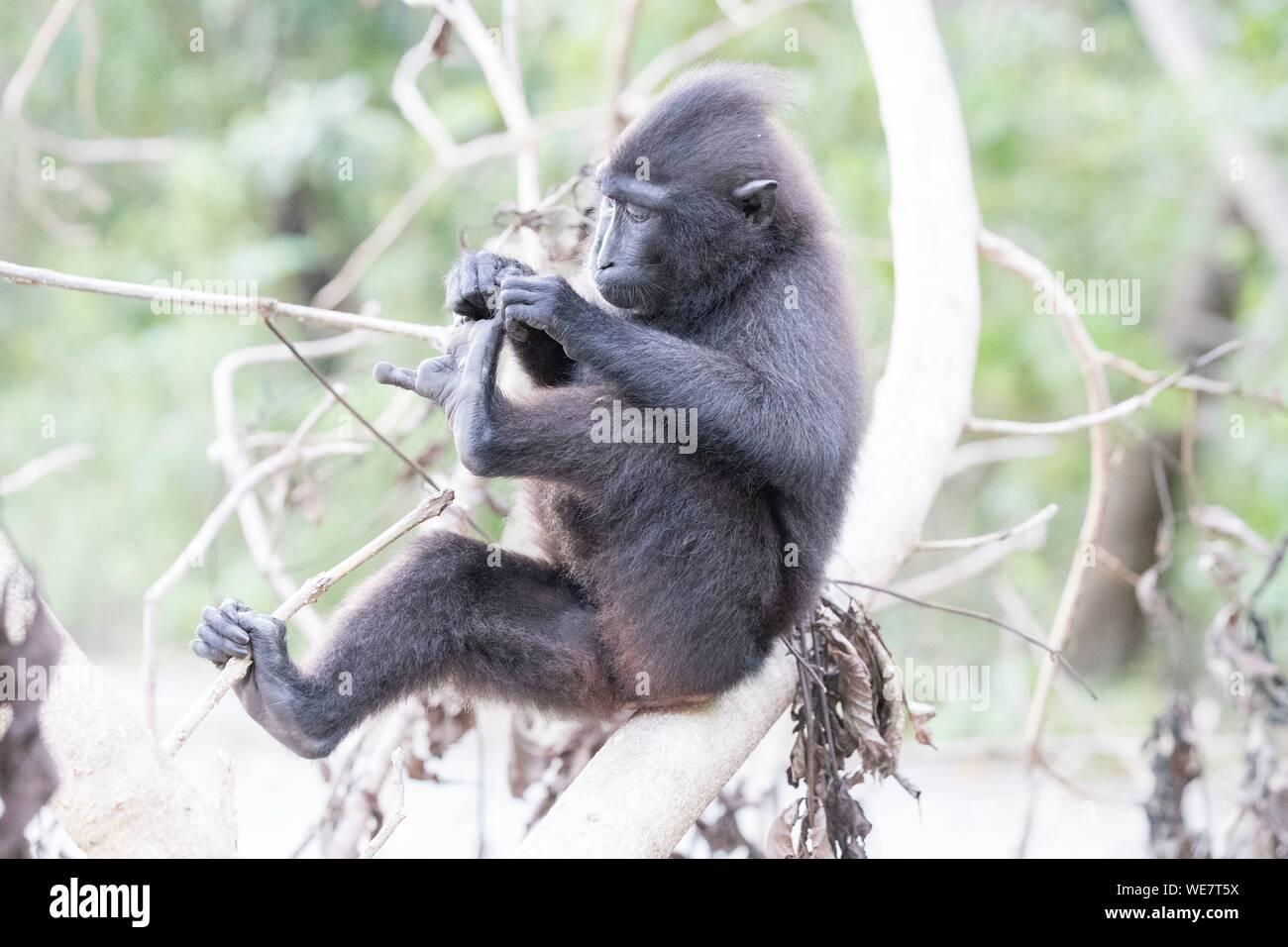 Indonesia, Celebes, Sulawesi, Tangkoko National Park, Celebes crested macaque or crested black macaque, Sulawesi crested macaque, or the black ape (Macaca nigra) Stock Photo