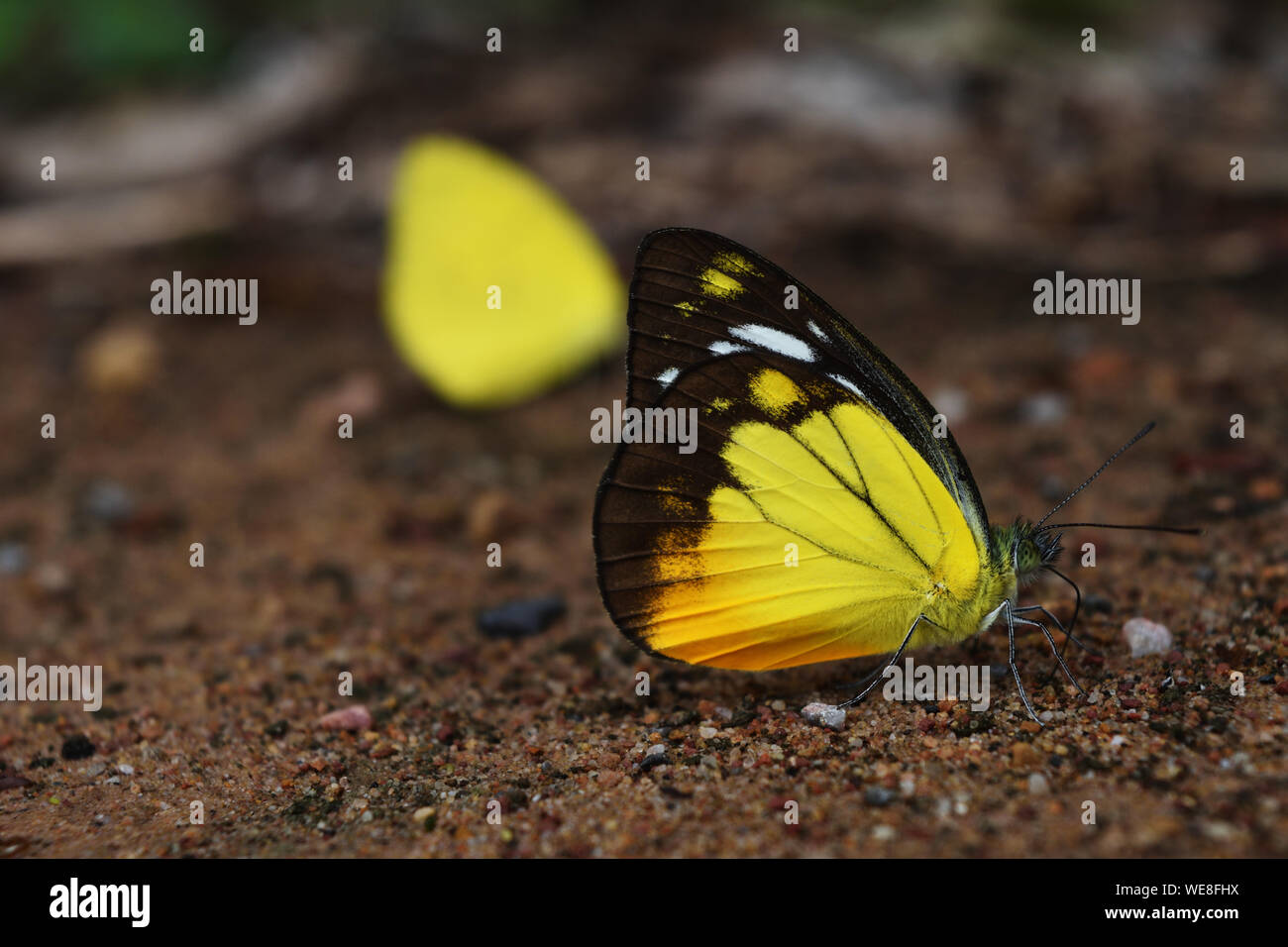 Sưu tập Bộ cánh vẩy 2 - Page 81 Orange-gull-butterfly-cepora-judith-standing-on-dirt-land-black-pattern-with-yellow-and-orange-color-on-white-wing-of-tropical-insect-thailand-WE8FHX