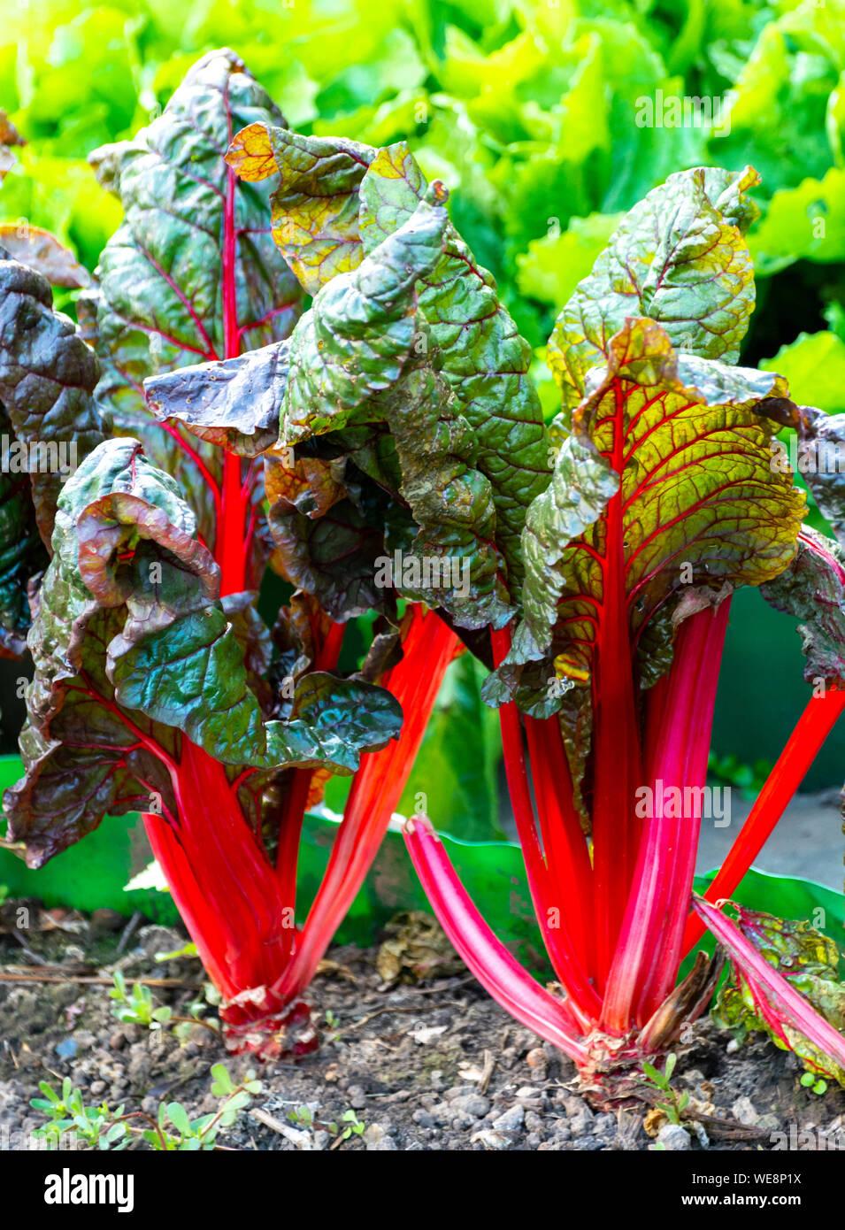 Sour leaf culinair vegetable red rhubarb growing in garden Stock Photo