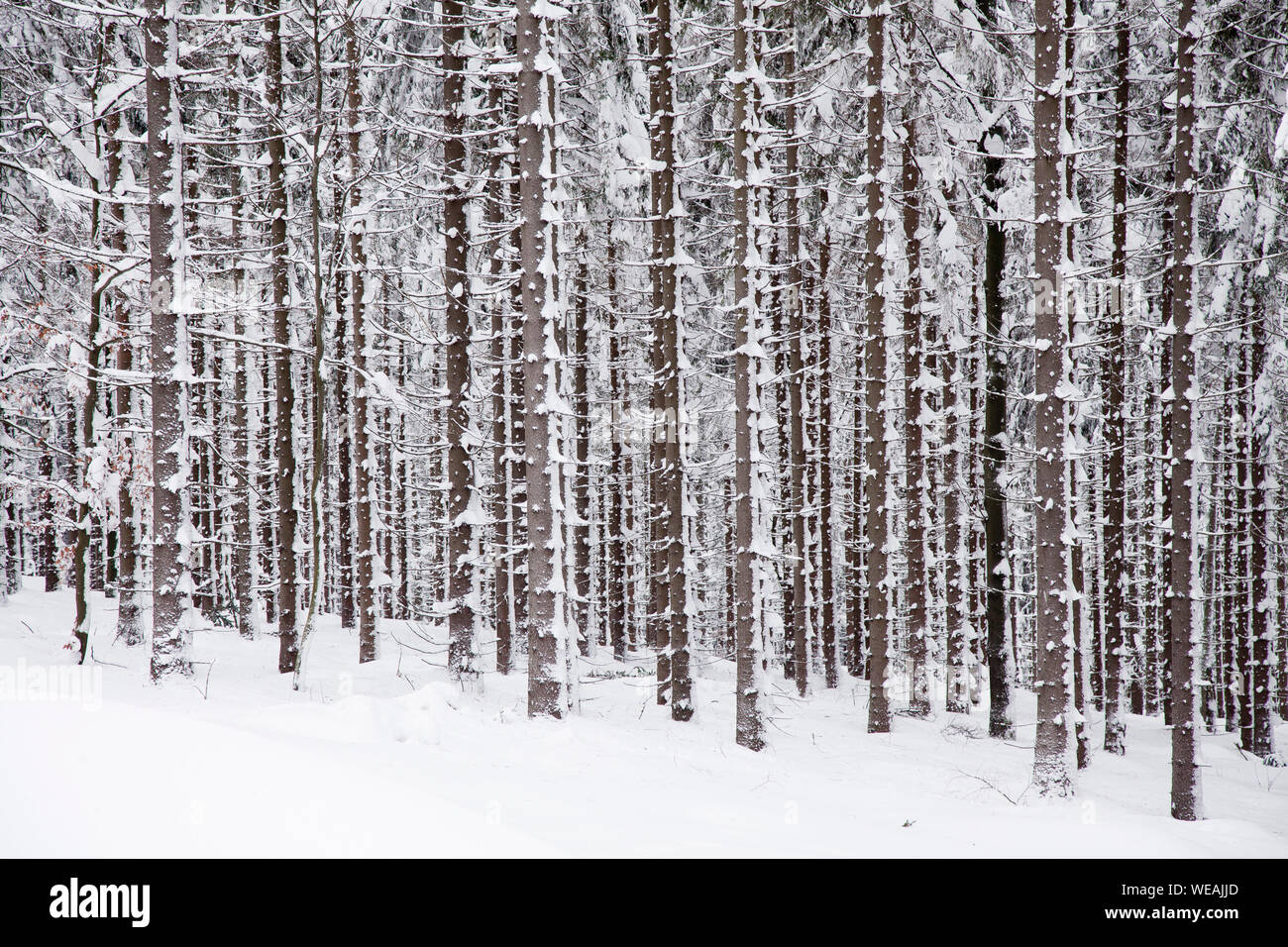 winter spuce forest with trees covered snow Stock Photo