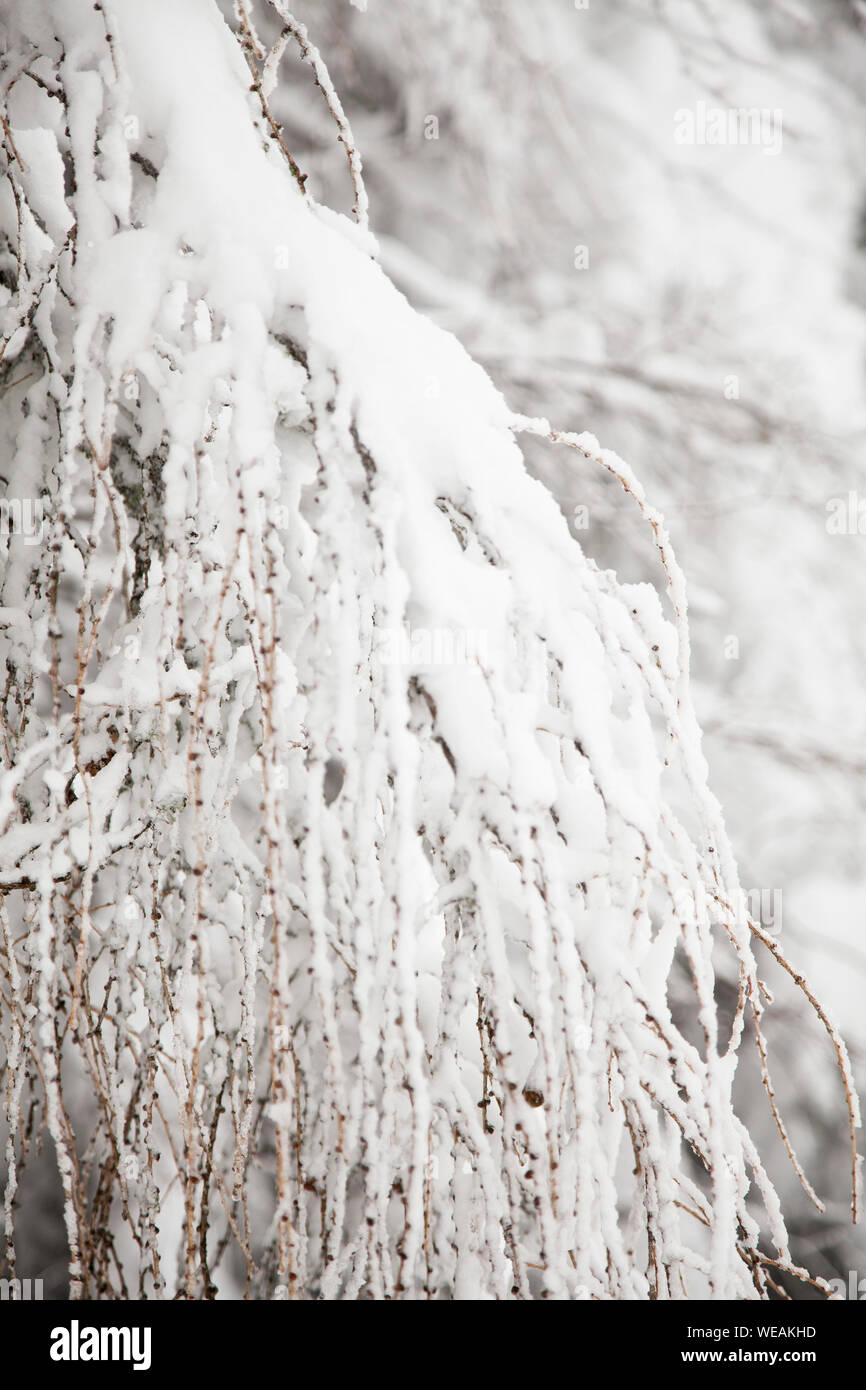 winter, tree covered snow, white winter backgound Stock Photo